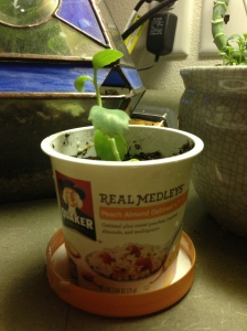 Recycled Quaker Real Medleys oatmeal container for starting plants